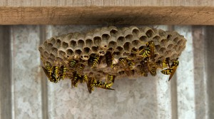 Wespen beseitigen